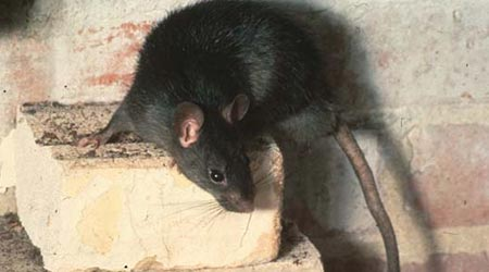 Zwarte rat bestrijden